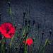 poppy - red - armistice - memories - always