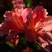 The rich colors of azaleas are made even more spectacular by the sunlight. by congaree