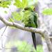 New Zealand parakeet (kakariki)