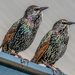This pair of Starlings ... by ludwigsdiana