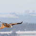 2018 03 19 - Red Kite by pixiemac
