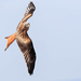Red Kite-Banking Turn