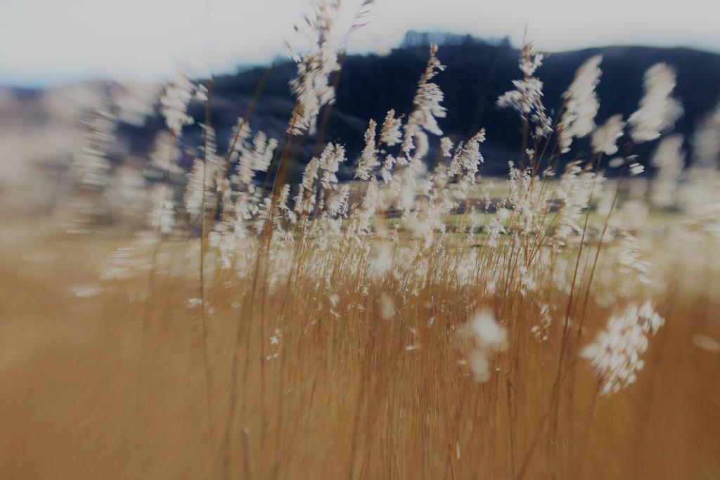 Estuary Reeds .... (For Me) by motherjane