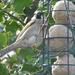 Cheeky sparrow