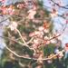 burnside blossom
