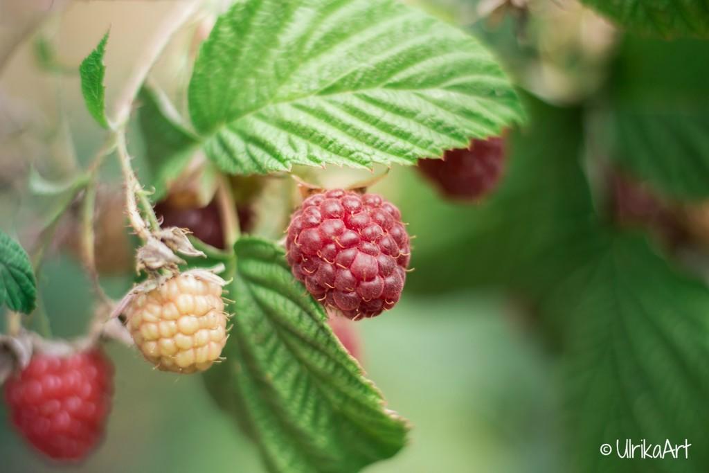 raspberries by ulla