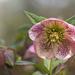 More Lenten Roses