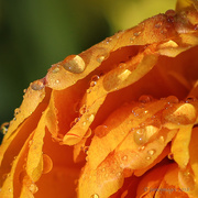 20th Mar 2018 - Tulip after Spring Shower