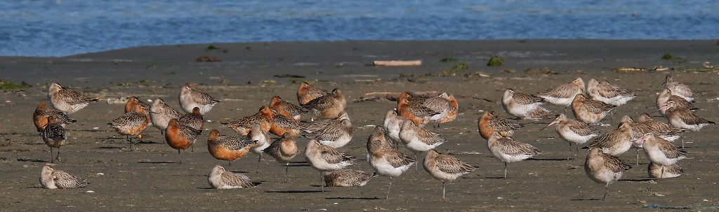 Eastern bar tailed godwits roosting at high tide by maureenpp