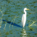 An Egret in the Meerlust Dam