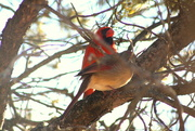 21st Mar 2018 - Mr and Mrs Cardinal looking pretty
