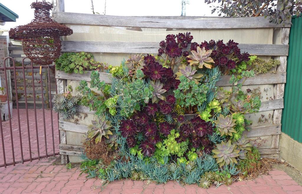 Vertical succulent garden by leggzy
