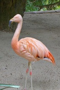 15th Mar 2018 - Flamingo