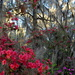 Azaleas, Magnolia Gardens, Charleston, SC by congaree