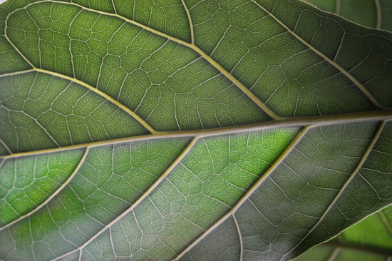 Leaf from behind. Green March 22 by caterina