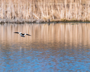 22nd Mar 2018 - Bufflehead in flight over blue waters