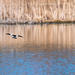 Bufflehead in flight over blue waters