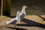 20th Mar 2018 - Gulls