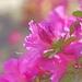 azaleas by dmdfday