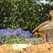 An Egyptian Goose ...