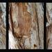 Melaleuca Bark