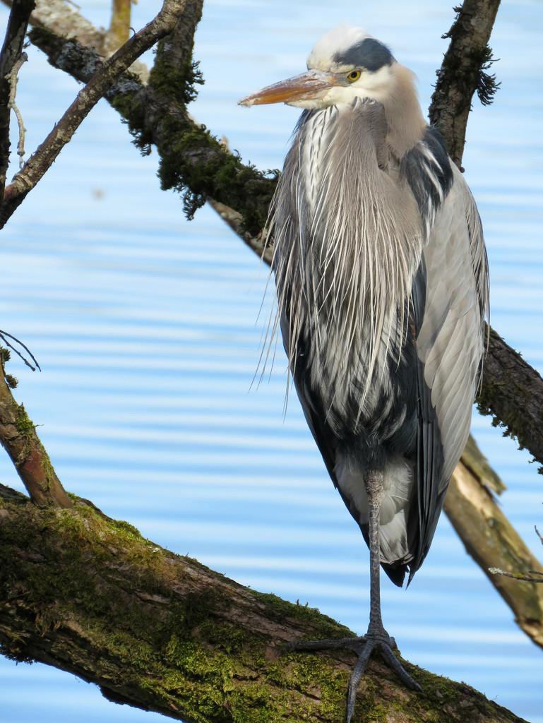 Blue Heron  by seattlite