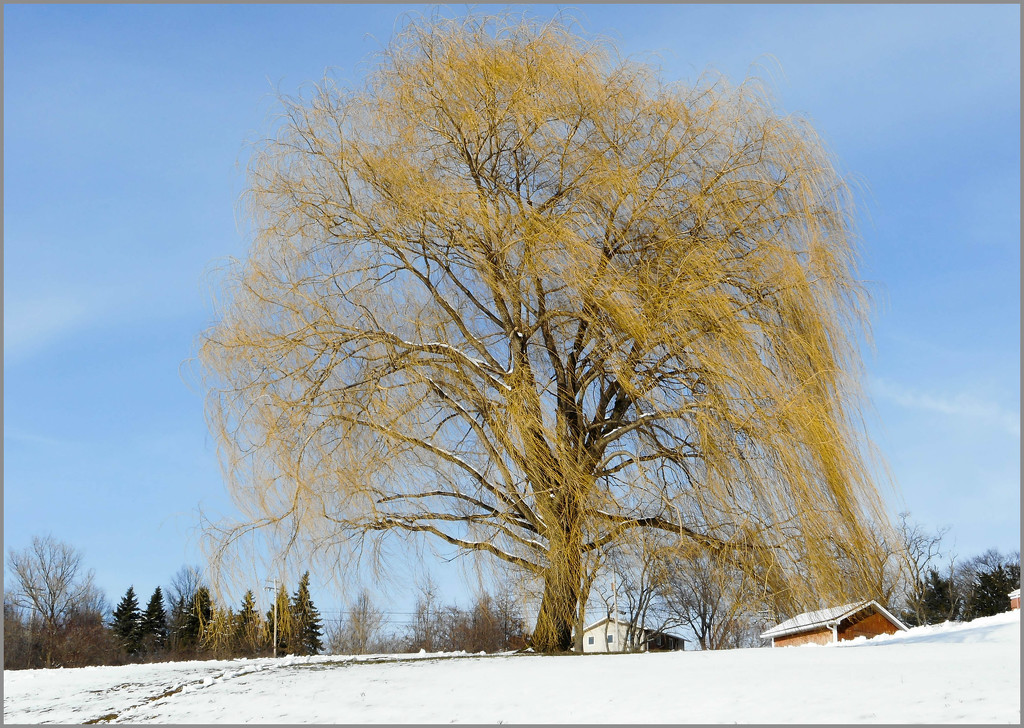 Weeping Willow tree by mittens