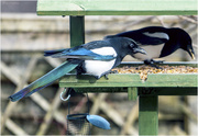 23rd Mar 2018 - Magpie's