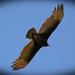 Vulture Gliding Overhead!