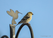 23rd Mar 2018 - Male Goldenfinch with shadow