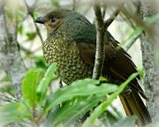 15th Mar 2018 -  Female Satin Bower Bird