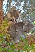 24th Mar 2018 - Cuddly Koala's