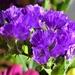 Day 24: Purple by carole_sandford