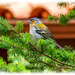 Madeiran Chaffinch,male (sub-species) by carolmw