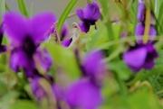 24th Mar 2018 - Violets a la Monsiur Monet