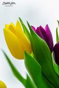 24th Mar 2018 - Tulips
