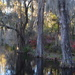 Cypress trees along the lake at Magnolia Gardens by congaree
