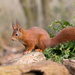 Red Squirrel on 365 Project