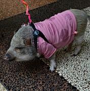 25th Mar 2018 -  A puppy boar pink/violet March 25