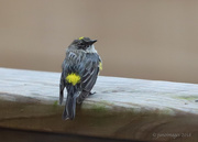 25th Mar 2018 - Yellow Rumped Warbler