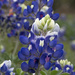 Texas Bluebonnet by gaylewood