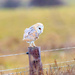 Barn Owl. by padlock