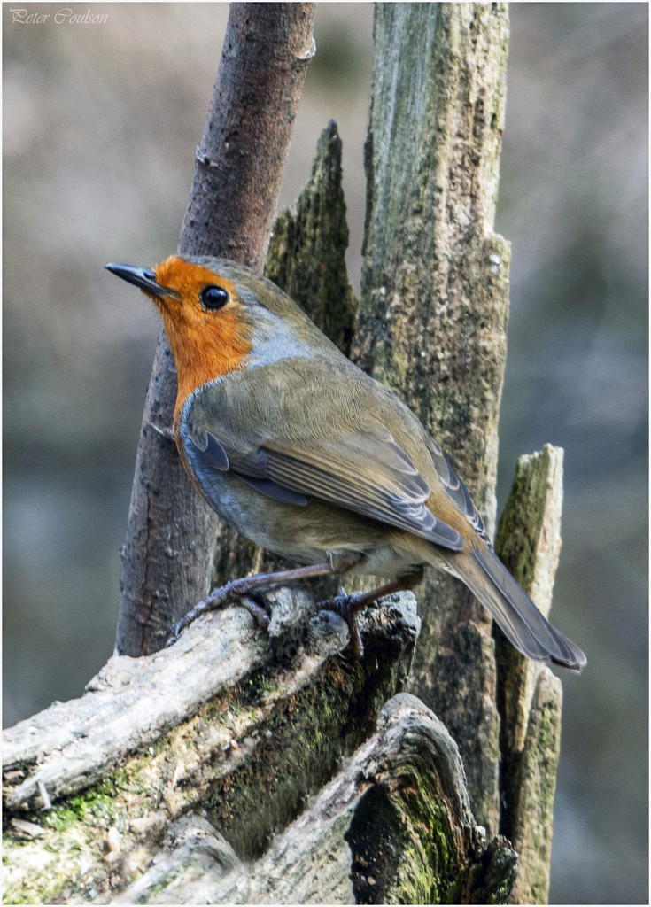 Robin No4 by pcoulson