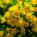 Yellow Kalanchoe by elisasaeter