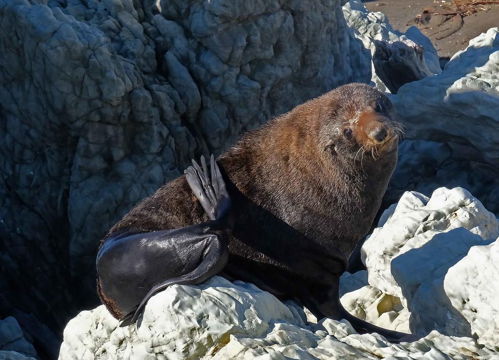 New Zealand fur seal sunbathing by maureenpp