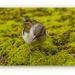 Madeiran Chaffinch,female (sub-species) by carolmw