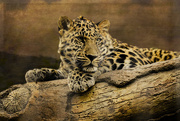 26th Mar 2018 - The Snow Leopard