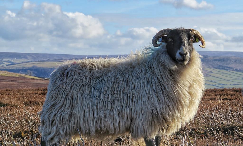 Ewe by craftymeg