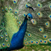 Portrait of a Peacock by fntngrma