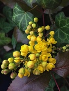 28th Mar 2018 - Yellow mahonia March 28